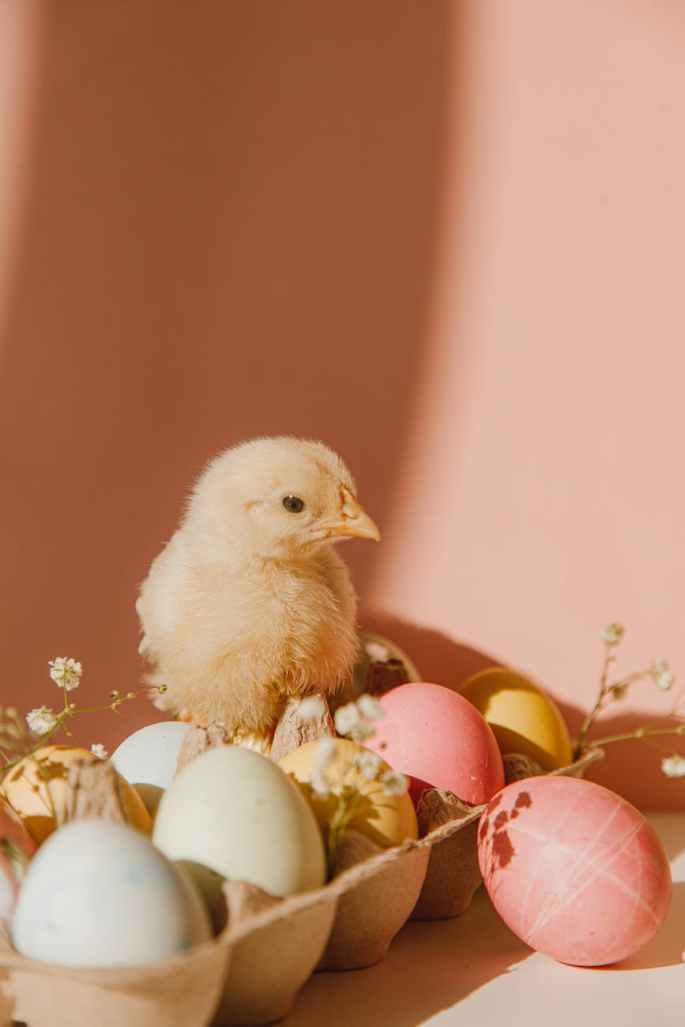 yellow chick near colored eggs